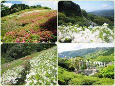 ☆共和AMEL日本の四季☆  熱海にある姫の沢公園。 四季折々の花が楽しめるハイキングコース。  色とりどりのつつじと沢山の 「鯉のぼり」が出迎えてくれました!  新緑の中、澄んだ空気と野鳥のさえずりが 都会の喧騒を忘れさせてくれます♫  <URL> http://www.kyowayakuhin.co.jp/