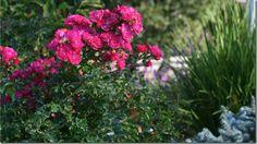 Pink Flower Carpet Rose - photo from Genevieve Schmidt Garden Design
