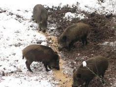 wild boar hunting.  охота на кабана зимой!