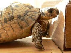 African Spurred Tortoise Diet