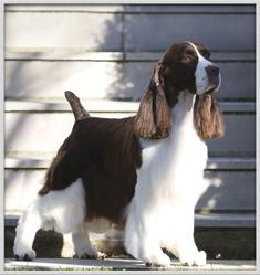 Cerise English Springer Spaniels