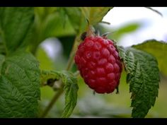 Fiffig uppbindning av hallon- Sara Bäckmo Raspberry, Strawberry, Garden Inspiration, Fruit, Food, Gardening, Tips, Advice, The Fruit