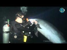 Un Delfín Herido Se Acerca A Pedir Ayuda A Un Buceador... ¡Luego Pasa Esto!
