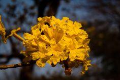 Flores de Araguaney (Tabebuia chrysantha).