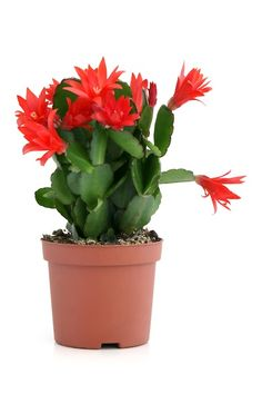 Do you know the difference between Christmas and Thanksgiving cactus (Schlumbergera).