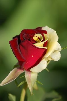 Double color Aquarius Hybrid tea rose . . . because we can't decide which color we love more, White or Red!