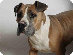 San Pedro, CA - Pit Bull Terrier. Meet GUARDIAN, a dog for adoption. http://www.adoptapet.com/pet/13167814-san-pedro-california-pit-bull-terrier