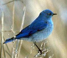 Mountain Bluebird...state bird of Idaho.