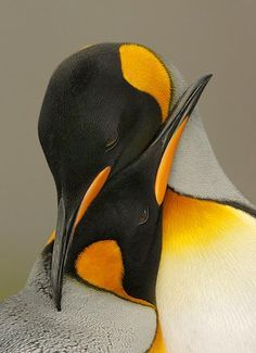 Penguins showing love to each other. How cute and precious is this? We could learn a lot about relationships from penguins. For instance, loving only one mate for life and raising the young together. Nature Animals, Animals And Pets, Baby Animals, Cute Animals, King Penguin, Penguin Love, Penguin Craft, Beautiful Birds, Colorful Birds