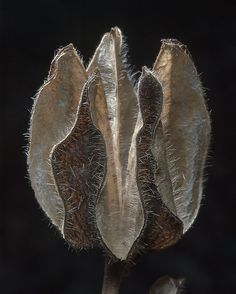 Mallow Hibiscus pod