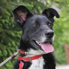 Shadow (A038792) is an adoptable Border Collie Dog in Springfield, IL.  ...