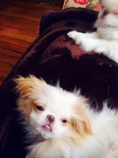 Kaz Aiko, Puppies, Dogs, Animals, Animales, Puppys, Animaux, Pet Dogs, Doggies