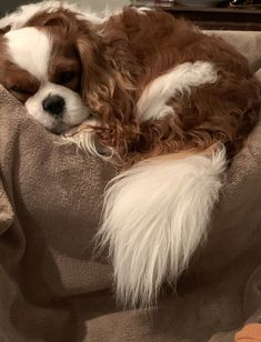 Cute Baby Dogs, Cute Little Puppies, Cute Dogs And Puppies, Baby Puppies, Doggies, King Charles Puppy, Cavalier King Charles Dog, Charles Spaniel, Super Cute Animals