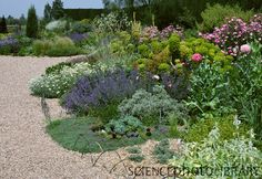 View of the dry garden with Euphorbia, Thymus and Papaver at the Beth Chatto gardens, Essex, England. Dry Garden, Side Garden, Garden Plants, Beth Chatto, Creeping Thyme, Essex England, Science Photos, Garden Borders, Photo Library