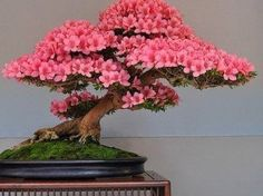 Bonsáis hechos con árboles nativos de la Argentina. - Taringa! Acer Bonsai, Bonsai Art, Bonsai Plants, Bonsai Garden, Leaf Flowers, Flower Pots, Ikebana, Bonsai Azalea, Japanese Maple Bonsai