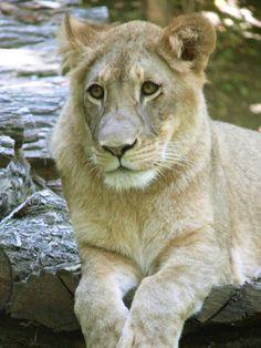 Zoo de Beauval - Lion 11