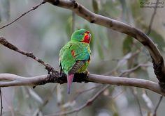AU02356a Swift Parrot ( Lathamus discolor ) Bruny Island Tas Sept 2012-L.jpg (800×568)