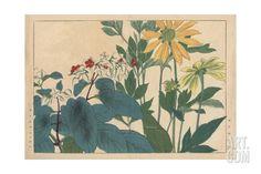 Coneflower, Rudbeckia Hirta, and Bleeding Glory-Bower, Clerodendrum Thomsoniae Giclee Print at Art.com