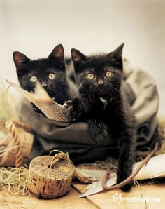 Bonnie and Millie (Domestic Shorthair) - It wasn't us!!! (pic by Rachael Hale)