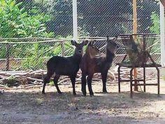 Sono arrivate le Antilopi Africane allo Zoo di Napoli
