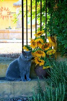 Summer in Provence.  Mas Jorel Cat & Sunflowers by Barbara van Zanten