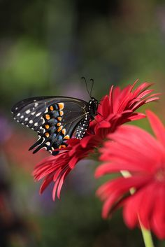 Two things that remind us of Jackie...Gerber Daisies and Butterflies. Whenever we see a butterfly we think of her and know she is always with us!