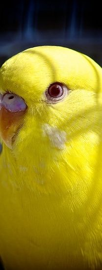Male yellow parakeet