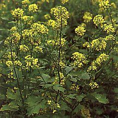 VITSENAP i gruppen Krydd- och Medicinalväxter / Kryddväxt hos Impecta Fröhandel (3200) Garden Planning, Herbs, Flowers, Plants, Vit, Horticulture, Florals, Herb, Bloemen