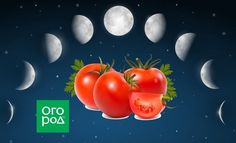 Выращивание томатов по Лунному календарю в 2019 году Farm Gardens, Vegetables, Gardening, Lawn And Garden, Vegetable Recipes, Veggies, Horticulture