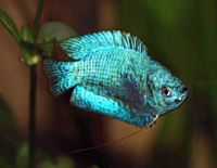 1000 images about companionship on pinterest betta fish for Peaceful freshwater fish