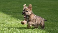 Cairn Terrier is an active, game, hardy little terrier that is loaded with spunk. Dog Breed Information and Images - Cairn Terrier on K9 Research Lab. K9RL.