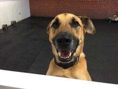 Happy Saturday from Harley!! #shepherd #mixedbreed #igers #dogsofinstagram
