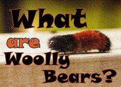 Wolly Bears