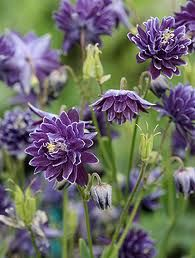 Aquilegia vulgaris - Columbine, Barlow Christa   Purple flowers on a 18 - 30 inch plant. Flowers in spring, prefers part shade to shade. Also likes moist soils. Zones 5 -7.