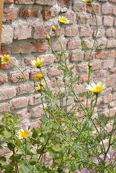 Chrysanthemum - chin. Tee Chrysanthemen | Flickr - Photo Sharing! Edible Garden, Gardening, Tees, Plants, Chrysanthemums, Chemises, Tee Shirts, Lawn And Garden, Teas