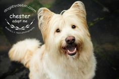 Meet Chester, a Petfinder adoptable Briard Dog | Kansas City, MO | Chester is a super sweet, loving boy who enjoys car rides and tummy rubs! He is a quick learner! We...