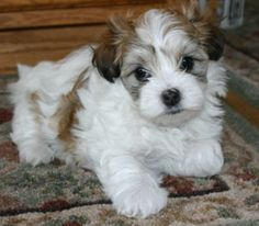 Havanese facts including: history, training/temperament, and breed colors and markings.