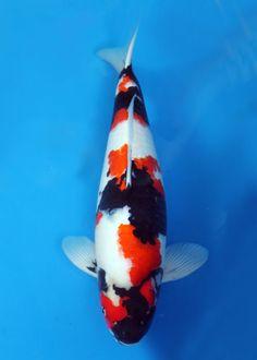 Dainichi Kokugyo Showa - (Grand Champion Malaysian Mini Koi Show Koi Fish Pond, Betta Fish, Koi Ponds, Koi Art, Fish Art, Showa Koi, Pond Water Features, Pond Life, Carpe