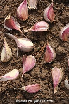 How to plant garlic and shallots from SoupAddict.com