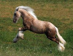 Gypsy Vanner Horses at:         /EXID14909/slideshows/palamino GP.jpg