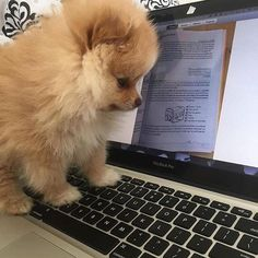 While mommy works... @luna.thepomeranian Double Tap to ❤ Follow us @thedailypomeranian for more adorable pomeranians #pomeranian