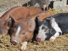 Idaho Pasture Pigs http://idahopasturepigs.blogspot.com/2012/04/winter-and-spring-2012.html