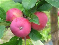 Apple 'Lavia'  Lajike polveutuu Lavian kansakoululla 1800-luvun lopulla kylvetyistä siemenistä.