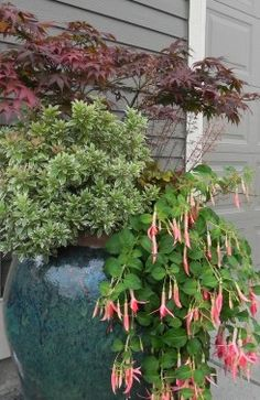 Container planting with Japanese maple, Pieris 'Little Heath' and fuchsia