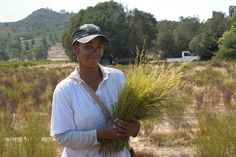 Growing and harvesting Rooibos South Africa, Harvest, Garden Ideas, Gardening, Plants, Garten, Lawn And Garden, Landscaping Ideas, Planters