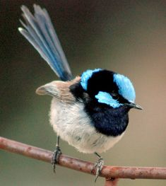 The Fairy Wren-No Negative Comment. Tiny Bird, Small Birds, Little Birds, Colorful Birds, Exotic Birds, Pretty Birds, Beautiful Birds, Bird Artwork, Kinds Of Birds