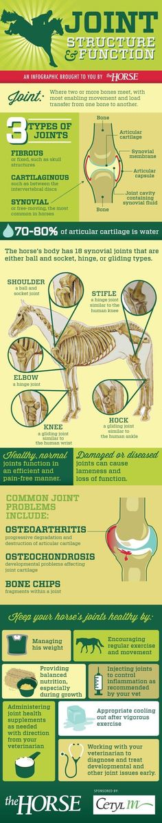 All about the joints, from anatomy to common problems, of a horse.