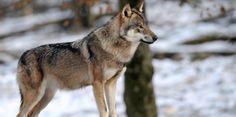 Le loup débarque en Ile-de-France, selon deux associations