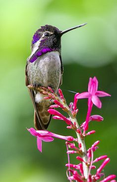 Chronicles of a Love Affair with Nature — Costas Hummingbird by pedro lastra on Flickr.