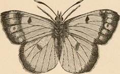 """Image from page 34 of """"The butterfly hunters"""" (1868) 